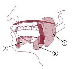 耳下腺・顎下腺・舌下腺