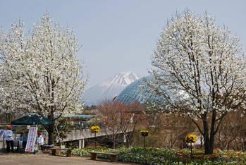 春の花回廊(大山の残雪を背景に)